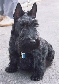 Terrier: I cannot wait to have a dog! -Scottish Terrier: I cannot wait to have a dog! - Dog - good picture Scottish Terrier Puppy Pretending not to pose for the camera when really they are. Aberdeen, Baby Dogs, Dogs And Puppies, Doggies, Chihuahua Dogs, I Love Dogs, Cute Dogs, Terrier Dog Breeds, Dog Rules