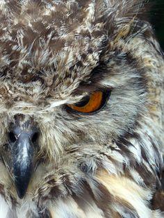 Owl Stare Bengal Eagle Owl by 0Iluvater0.deviantart.com on @deviantART