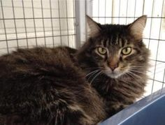 Petfinder Adoptable Cat | Domestic Long Hair | Winter Haven, FL | Petey