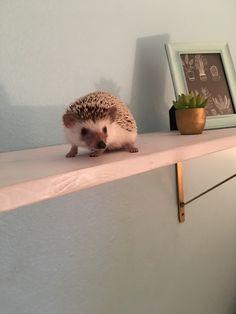 My hedgehog Daisy #animals #hedgehog