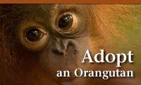 Virtual adoption is fun and helps the orangutans