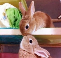 Two baby bunnies sharing a kiss.