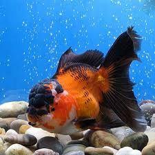 Resultado de imagen para peces oranda
