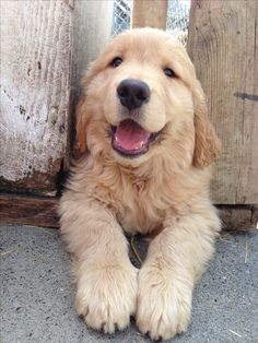 Smile! Best Golden R
