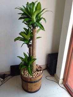 Palo de Brasil, indoor plant