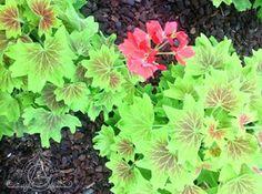 Beautiful geraniums at theRawlings Conservatory & Botanical Gardens #geranium #rawlingsconservatory #botanicalgarden
