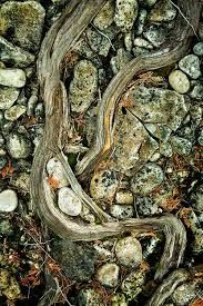 tree roots and rocks - Google Search