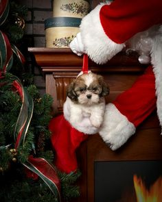 Christmas Shih Tzu pup ... not happy with Santa