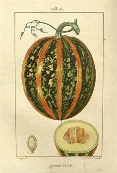 F. P. Chaumeton, summer squash, 1830. From: Flore médicale. Via Missouri Botanical Garden.