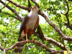Gavião-bombachinha-grande (Accipiter bicolor)