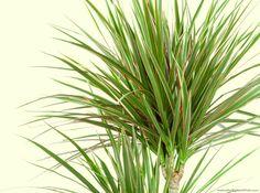 DRACHENBAUM - beseitigt Schadstoffe wie Formaldehyd
