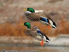 Beautiful Colors~  Mallards