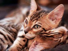 Маленькие бенгальские коты