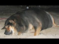 Worlds Fattest Dogs (Top 5!!!)