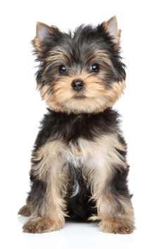 La naissance de la race du Yorkshire Terrier remonte à la seconde révolution industrielle, au début du 19e siècle, où de nombreux travailleurs de...