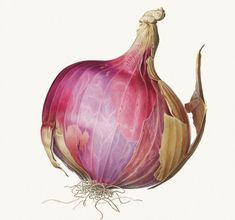 An Indian onion, painted in delicate shades of pink and purple.