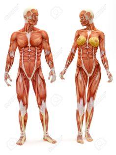 Homme Et Femme Système Musculo-squelettique Isolé Sur Un Fond Blanc. Partie D'une Série Médicale Musculaire. Banque D'Images, Photos, Illustrations Libre De Droits. Pic 12376547.