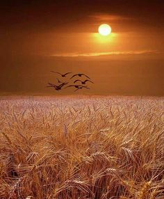 Wheatfield sunset Michigan