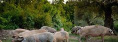 Porco bísaro criado em campo