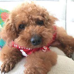 mom, are you go out? ok!  あ、お留守番ね。りょーかい👀 * * 聞き分けのよい茶豆は寝て待つ ククは玄関まで追いかけてきて せつない顔するから出かけにくいし #トイプードル #でかぷー #巨大トイプードル #dogs #poodle #poodlesofinstagram #toypoodle #poodle #poodlesofinstagram #japan #japandog #bigpoodle #dogstagram #doglover #ilovedogs #rescuedog #rescuedogs #rescueddogs #わんこ #犬 #愛犬 #わんこなしでは生きていけません会 #dogslover #photo #写真 #ふわもこ部 #保護犬 #元保護犬