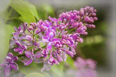 Anna Matveeva The Branch Of Lilac Photographers   #AnnaMatveeva #FineArtPhotography # Purple #ArtForHome #FineArtPrints