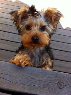 Meet Millie, my beautiful yorkie pup