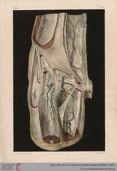 Bourgery, Jean-Baptiste Marc (https://pinterest.com/pin/287386019948321810) ; Jacob, Nicolas Henri [Hrsg.] Traité complet de l'anatomie de l'homme: comprenant la médecine opératoire (Band 6, Atlas)  Paris, 1839 (https://pinterest.com/pin/287386019941966857/). Digitised by the Universitätsbibliothek Heidelberg. ◙ More 19th Century Anatomy: https://pinterest.com/mediamed/xixth-anatomy/.