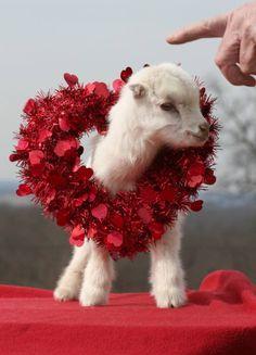 Valentines day goat