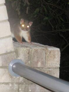 Possum...marsupial