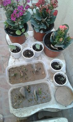 Plants updation and kalanchoe daplings