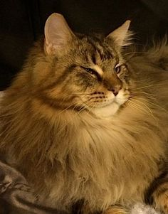 CH Maine Delite's Sgt Riggs. Maine Coon Males