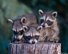 To avoid conflicts, urban-wildlife experts offer a variety of tips for living with Racoons. Raccoon kits photo by Barbara Fleming Cute Wild Animals, Baby Animals, Adorable Animals, Animal Fashion, Photo Postcards, Science And Nature, Pet Birds, Mammals, Habitats