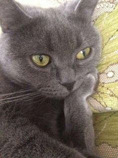 Needlepoint Canvas 14 o 18 unidades, Cat needlepoint, Kitty Cat, Gray Cat - Gatos Cute Funny Animals, Cute Baby Animals, Funny Cats, Smiling Animals, Cats Humor, Funny Horses, Cute Kittens, Cats And Kittens, Kitty Cats