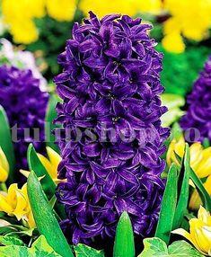 Este o planta perena, de gradina, cu o rezistenta buna la frigul iernii. Altfel spus, bulbii de zambile nu trebuie scosi din pamant toamna, inainte de inghet. Frigul iernii este o etapa necesara pentru o inflorire buna anul urmator. Bulbii de zambile se inmultesc usor. Se descurca bine si la soare, dar si in zonele semiumbrite. Zambila Purple Star este deosebita prin florile sale mov. Plantati bulbii de zambile toamna, la o adancime de 10-15 cm pentru ca bulbii sunt destul de mari. Purple, Plant