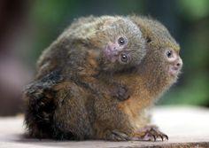 Pygmy Marmoset Monkey with baby (DwergzijdeAapje) Marmoset Monkey, Pygmy Marmoset, Primates, Mammals, Beautiful Creatures, Animals Beautiful, Animal Hugs, Ocean Park, Cute Monkey