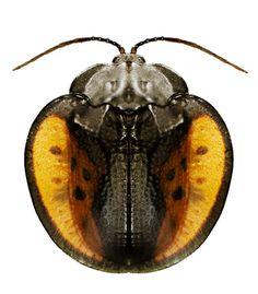 Discomorpha seckyi