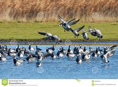 Just sold @dreamstime: Barnacle geese (Branta leucopsis) https://www.dreamstime.com/stock-photo-barnacle-goose-branta-leucopsis-flock-geese-resting-water-their-habitat-image62059634