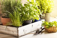 Learn how to plant an indoor herb garden with this easy step-by-step guide. Plus, get tips on what herbs to grow indoors and indoor herb garden ideas. Gardening For Beginners, Gardening Tips, Organic Gardening, Culture D'herbes, Growing Herbs Indoors, Pot Jardin, Mosquito Repelling Plants, Planting Bulbs, Plantar