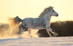 dapple gray horse running in the snow - Kilja by sowi01 on deviantART