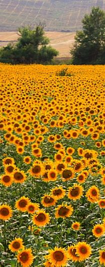 Sunflowers in the Gers / South West France ah yes - soothe your soul here #frenchcyclingadventures