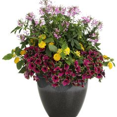 Proven Winners - Luscious® Bananarama™ - Lantana camara yellow bright, sunny yellow plant details, information and resources. Container Flowers, Container Plants, Container Gardening, Purple Petunias, Purple Flowers, Garden Soil, Garden Plants, Garden Tips, Garden Projects