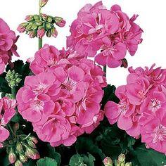 Seed+Geraniums+vs+Zonal+Geraniums   Zonal Cutting Geranium, Americana: Pink