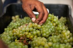 Hand picking the grapes Wines, Harvest, Vegetables, Food, Essen, Vegetable Recipes, Meals, Yemek, Veggies