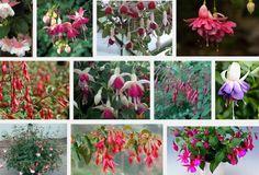 Dag 225/365 Fuchsia's of een andere plantensoort verzamelen