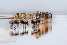 An ancient trade - An age old practice using camels to carry salt from the Danakil desert (Afar, Ethiopia) from salt pans below sea level to the highlands of Ethiopia. Temperatures are often - the hottest place on Earth. Photo Competition, Camels, National Geographic Photos, Wanderlust Travel, Animal Kingdom, Amazing Photography, Touring, Travel Photos, Photo Galleries