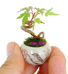 20 Pcs Mini Maple Seeds Plant Tree Seed Bonsai For Home Garden Planting Easy Grow Very Rare Tree Houseplants Potted Four Seasons-in Bonsai from Home & Garden on Aliexpress.com | Alibaba Group