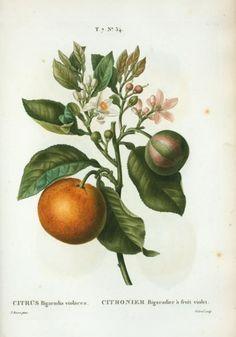 Citrus Fruit illustrations by Pierre Joseph Redouté and P....