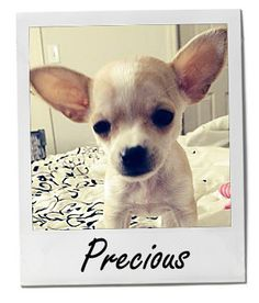 Meet #Precious! She's our Pet of the Week! Breed: Apple Head Chihuahua Location: Fernley, NV