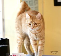 Chex is an adoptable Tabby - Orange Cat in Vacaville, CA. **Please take note that if an animal is not yet spayed or neutered it CANNOT be adopted out of Solano County**   2200 Peabody Road Vacaville C...