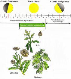 Cuando nosotr@s recolectamos nuestras propias plantas para hacer tinturas, oleatos y otros macerados es importante saber cuando son más r...
